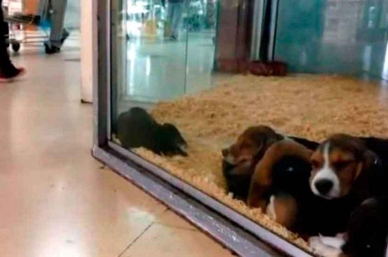 Prohíben exhibir animales en vidrieras